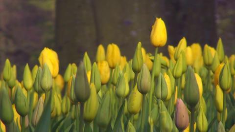 Tulipa Roi du Midi Live Action