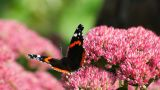 Butterfly On Pink Flower stock footage