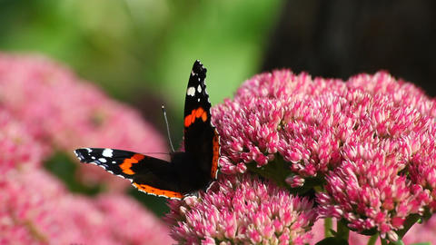 Butterfly on pink flower Stock Video Footage