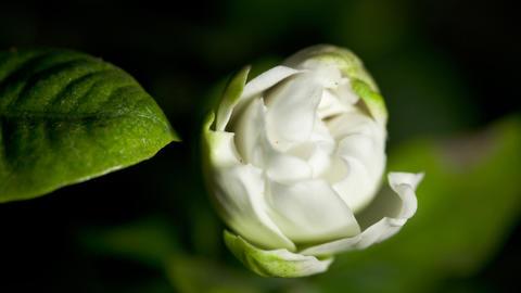 Time-lapse white gardenia opening Stock Video Footage