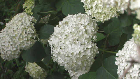 Flowers of Hydrangea,Vertically Oriented Video,in Showa Kinen Park_3 Footage