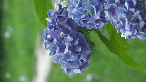 Flowers of Hydrangea,Vertically Oriented Video,in Showa Kinen Park Footage