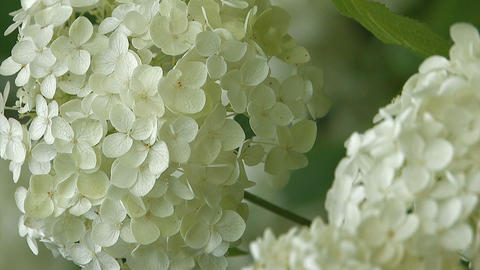 Flowers of Hydrangea,Vertically Oriented Video,in Showa Kinen Park_4 Footage