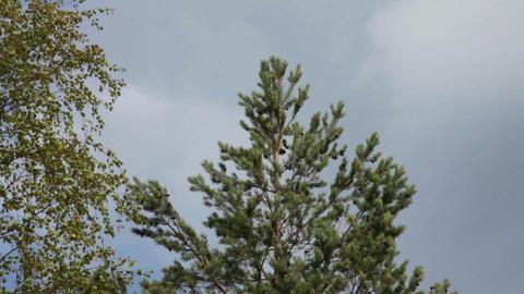 Camera Pan Down Pine Tree Stock Video Footage