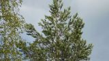 Camera Pan Down Pine Tree stock footage