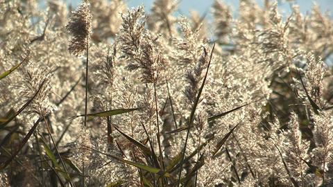 Japanese silver grass,in Kawaguchi Lake,Yamanashi,Japan Stock Video Footage