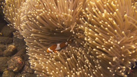 False clownfish Stock Video Footage
