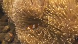 False clownfish Footage
