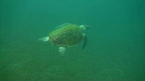 Green sea turtle Stock Video Footage