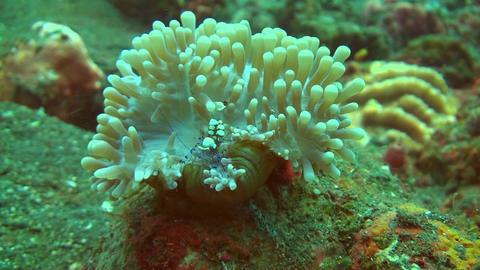 Squat shrimp Stock Video Footage