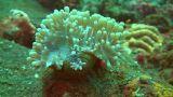 Squat shrimp Footage
