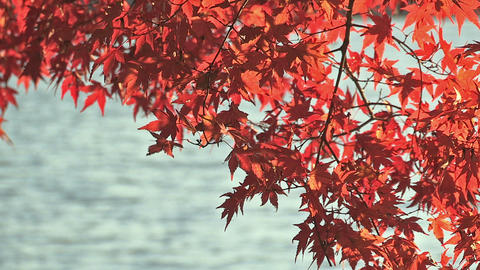 Autumn Leaves in Kawaguchi Lake,Yamanashi,Japan Stock Video Footage