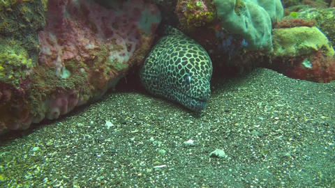 Honeycomb moray Stock Video Footage