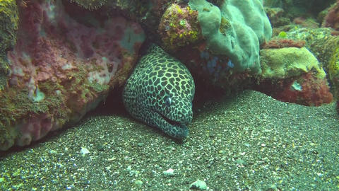 Honeycomb moray Stock Video Footage