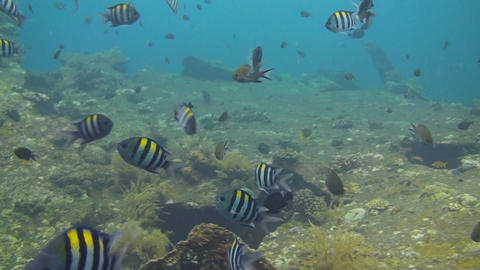 Indo pacific sergeantfish Stock Video Footage