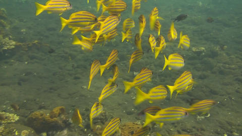 Bluestripe snapper Stock Video Footage