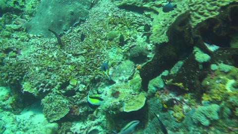 Blackspotted puffer Stock Video Footage