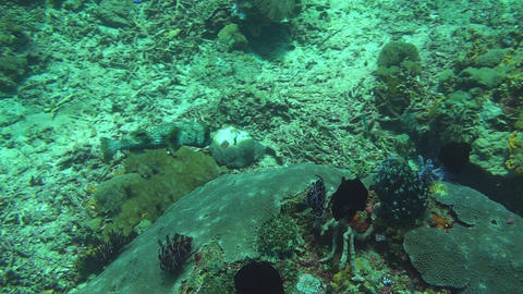 Black-spotted porcupinefish Stock Video Footage