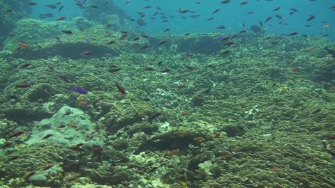 Scalefin anthias Stock Video Footage