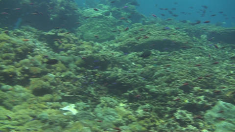 Scalefin anthias Stock Video Footage
