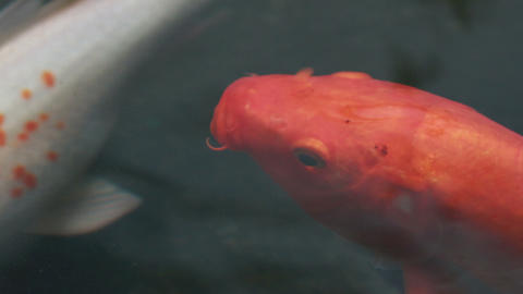HD Footage Of Koi, Fancy Carp Are Swimming In Above stock footage