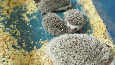 HD Footage Of Hedgehog Family, Close Up stock footage