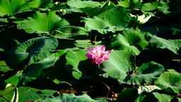 Blooming Lotus Flower(Nelumbo Nucifera) In The Summer Footage