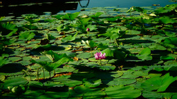 Blooming Lotus Flower(Nelumbo Nucifera) With Pet Footage