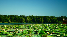 Lotus Leaves And Flowers (Nelumbo Nucifera) On Lake Footage