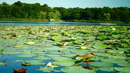 Lotus Leaves And Flowers (Nelumbo Nucifera) On Lake Footage