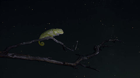Night timelapse of common chameleon Footage