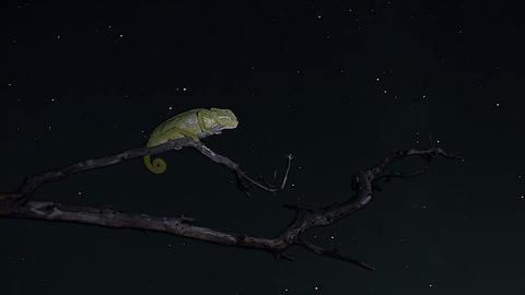 Night Timelapse Of Common Chameleon stock footage