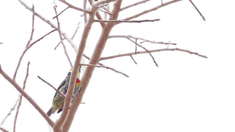 HD Footage of Coppersmith barbet eating fruit on tree Live Action
