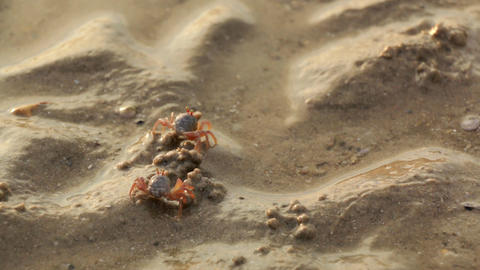Sand bubbler crabs searching for food at a beach in Thailand Live Action