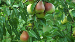 Organic Pears On A Tree, Pan Footage