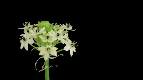 Time-lapse of opening white african lily in RGB + ALPHA matte format Footage