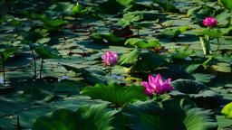 Lotus Leaves And Flowers (Nelumbo Nucifera) On Lake, Pan Footage
