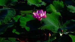 Lotus Leaves And Flowers (Nelumbo Nucifera) On Lake With Sound, Pan Footage