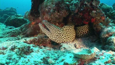 Giant black spotted moray eel underwater Footage