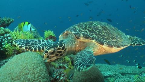 Swimming Turtle stock footage