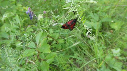 a pair of red butterflies mating season on a background of green, close-up Footage