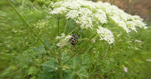 mating season in spotted beetles on a white flower in the forest close-up Footage