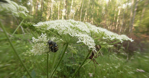 Scene clip - a spider watching a pair of beetles mating season on a white flower Footage