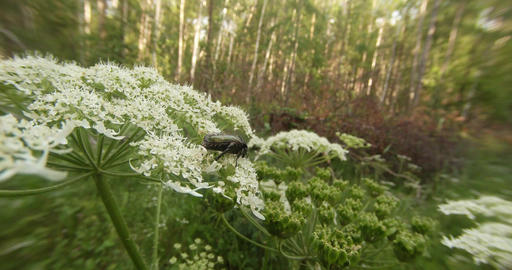 green beetle slowly chews the petals on a white flower in the forest Footage