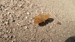 orange spotted butterfly on stony ground in bright sunshine Footage