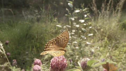 butterfly on a pink clover nectar drink in the sun in the forest Footage