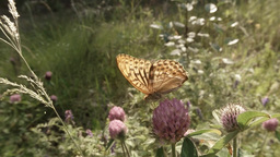 Butterfly drinking the nectar of pink clover in summer forest, close-up Footage