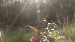 spotty brown butterfly in the sun on a pink clover in the woods close-up Footage