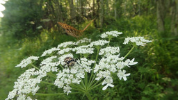 brown-spotted beetle and butterfly in the sun on a white flower in the forest Footage