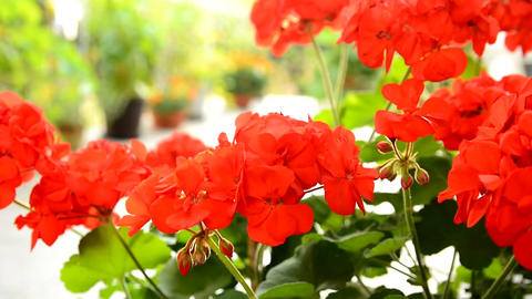 Red Geranium Footage